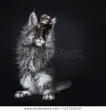 aranyos · kék · Maine · macska · kiscica · izolált - stock fotó © CatchyImages