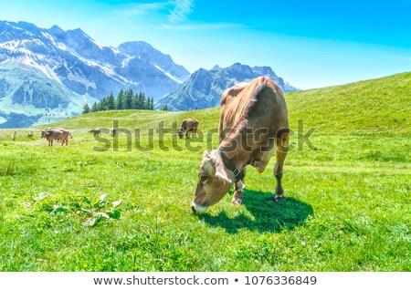 Lait vache prairie Autriche herbe alpes Photo stock © michaklootwijk