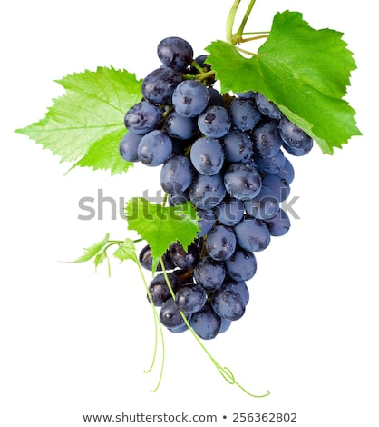 Bunches of blue grapes hanging on vine Stock photo © lichtmeister