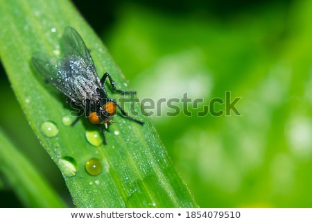 Flesh Fly (Sarcophaga bercaea) Stock photo © chris2766