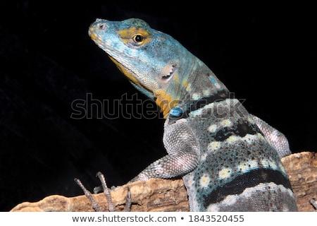 トカゲ · 岩 · 公園 · 自然 · 日 · 野生動物 - ストックフォト © Roka