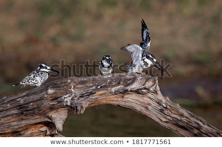 bird watching the water and catching fishers Stock photo © meinzahn