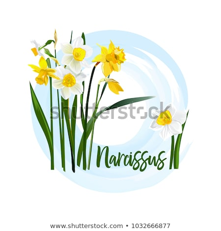 white narcissus flowers in the garden Stock photo © ultrapro