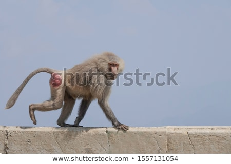 Monkey family, Hamadryas Baboon Stock photo © c-foto