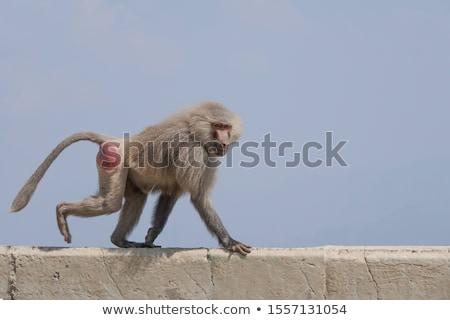 бабуин · верховая · езда · матери · тело · назад - Сток-фото © c-foto