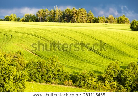 spring field with trees, Plateau de Valensole, Provence, France Stock photo © phbcz