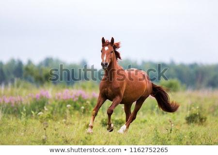 молодые · коричневый · лошади · луговой · Фермеры · пастбище - Сток-фото © rhamm