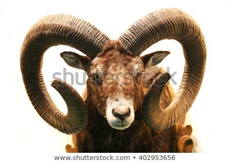 mouflon portrait on white Stock photo © taviphoto