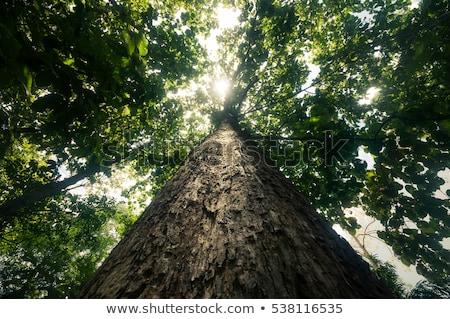 Velho árvore Tailândia Foto stock © Wetzkaz