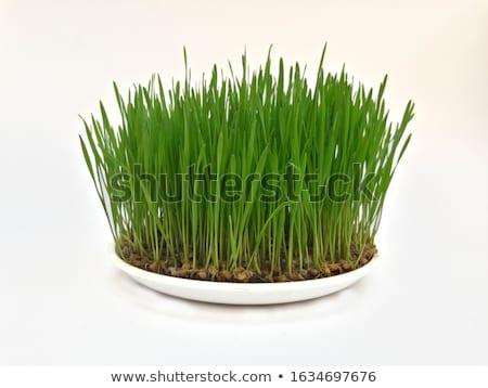 verde · cereais · primavera · imaturo · grama - foto stock © 5xinc