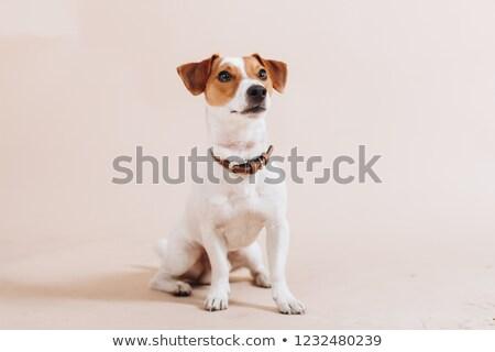 Small Dog Sitting Down Stock photo © monkey_business