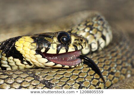 portrait of grass snake in thanatosis Stock photo © taviphoto