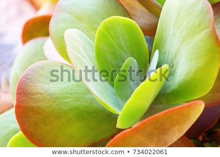 Cactus groeiend buitenshuis natuur plantkunde Stockfoto © dolgachov