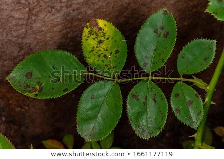 Részlet tövis természet kert portré növény Stock fotó © asturianu