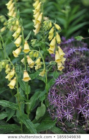 flor · roxo · florescer · raso · flores - foto stock © njaj