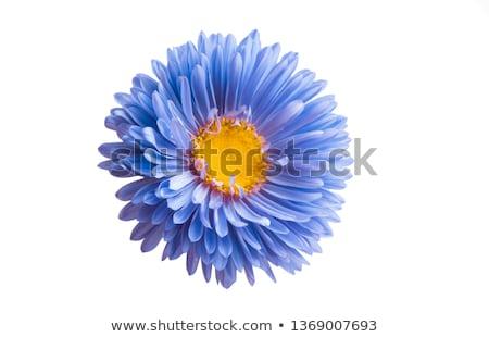 aster flower Stock photo © neirfy