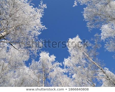 Dondurulmuş huş ağacı ağaçlar mavi gökyüzü altında mavi Stok fotoğraf © Anterovium