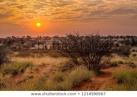 Sunrise in the Kalahari Stock photo © dirkr