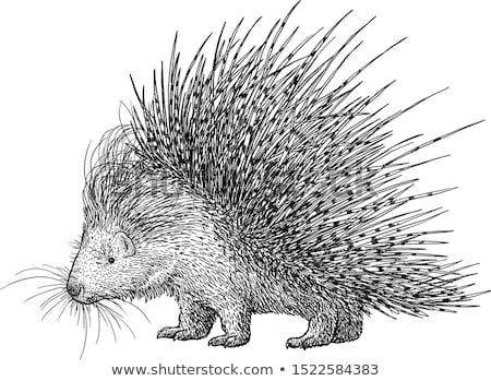 porcupine Stock photo © compuinfoto