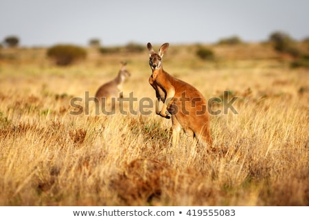 red kangaroo Stock photo © artush