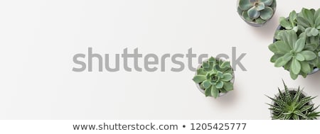 cactus plants in minimal garden stock photo © nalinratphi