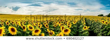ヒマワリ フィールド 美しい 黄色 ストックフォト © meinzahn