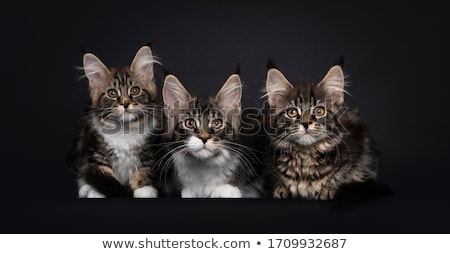 row of three sweet maine coon cats kittens stock photo © catchyimages