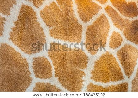 padrão · girafa · pele · pele · típico · textura - foto stock © anna_om