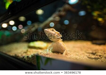 Kicsi gyík szakállas sárkányok citromsárga világítás Stock fotó © pinkblue