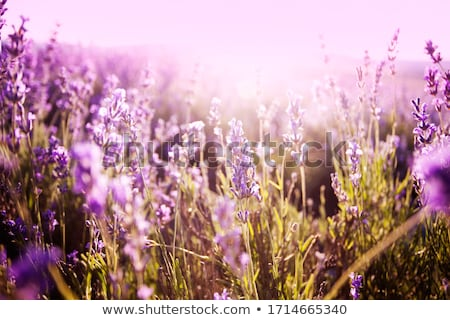 Zdjęcia stock: Fresh Lavender