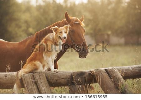 Kutya ló fotó dalmata farm szabadtér Stock fotó © kyolshin