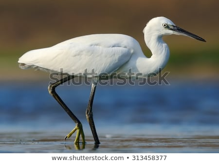 little egret (egretta garzetta) Stock photo © chris2766