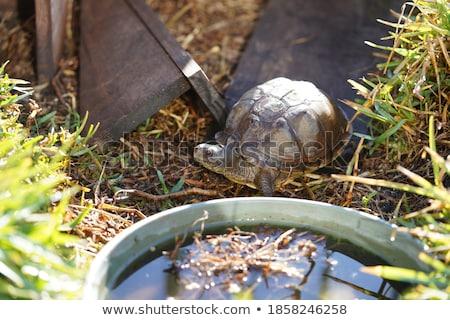 Beautiful turtle in its enclosure Stock photo © epstock