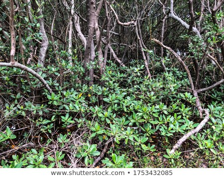Mangrove tree area Stock photo © smithore