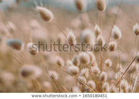 Bunny Tails Grass Lagurus Ovatus Stock photo © tilo
