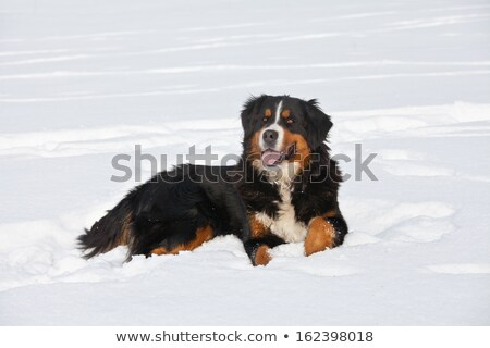 Stock photo: Bernese Mountain Dog standard in a park