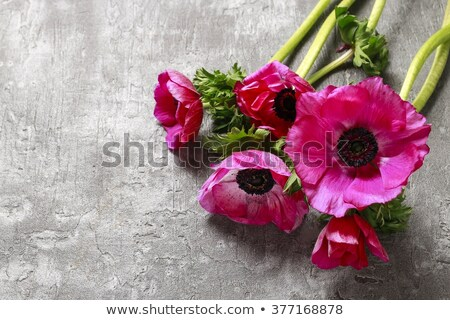 anemones flowers on stone background stock photo © neirfy