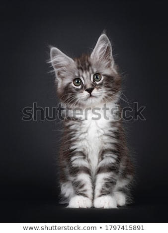 Black tabby Maine Coon kitten on black Stock photo © CatchyImages