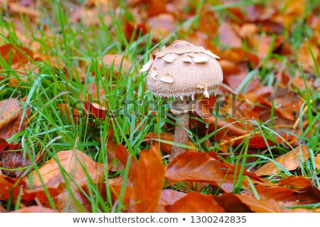 macrolepiota fuliginosa a variety from parasol stock photo © lianem