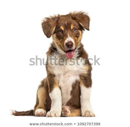 Tre cute border collie cucciolo seduta Foto d'archivio © vauvau