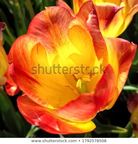 Beautiful blossoming tulip  stock photo © yoshiyayo