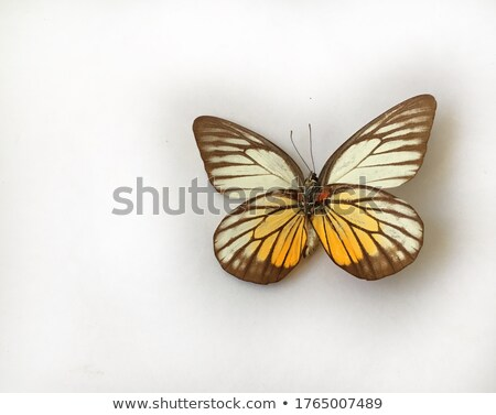 Orange papillons vecteur papillon nature Photo stock © AnnaVolkova