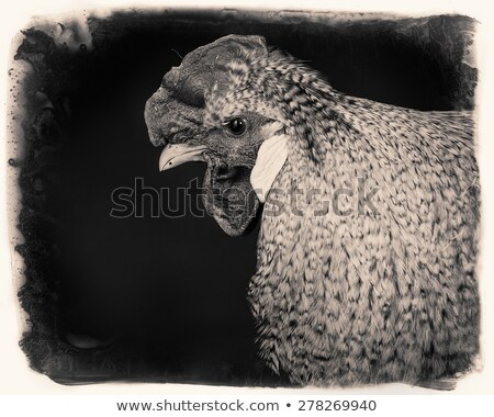 old photo of a white rooster stock photo © silent47