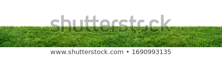 Taze bahar yeşil ot yalıtılmış beyaz bahçe Stok fotoğraf © jakgree_inkliang