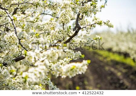 Elma ağacı çiçekler yalıtılmış açık mavi odak Stok fotoğraf © snyfer