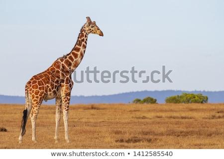 ストックフォト: キリン · デルタ · ボツワナ · 草 · 動物 · ブラウン