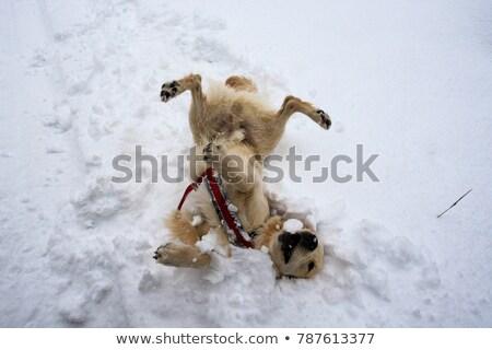 Perro jugando nieve havanese directamente cámara Foto stock © buchsammy