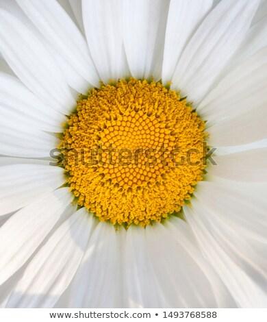 美しい 白 デイジーチェーン 菊 クローズアップ 多年生植物 ストックフォト © tainasohlman