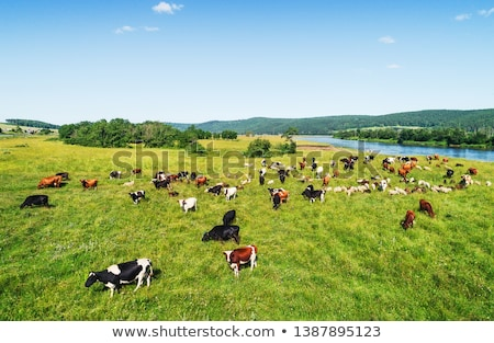 Flock of cows Stock photo © w20er