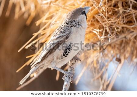 鳥の巣 ナミビア アフリカ 砂漠 空 鳥 ストックフォト © michaklootwijk